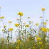 Mustard seed flower field and blue sky Stock Images