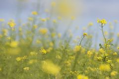 Mustard seed flower field and blue sky Stock Image