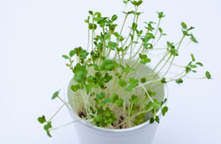 Mustard sprout Royalty Free Stock Images