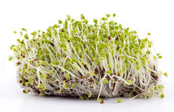 Mustard sprouted seeds bud. Over white stock images