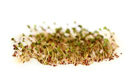 Mustard Sprouts Royalty Free Stock Image