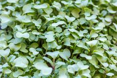 Mustard sprouts stock images
