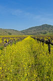 Mustard Between the Vines Royalty Free Stock Images
