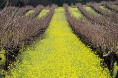 Mustard in the vineyard Royalty Free Stock Photo
