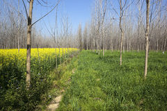 Mustard wheat and poplar trees Royalty Free Stock Image