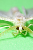 Mustard White moth Stock Photo