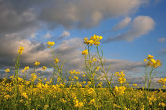 Mustard in the wind. Mustard flowers in a field blowing around in a strong wind at dusk royalty free stock photo