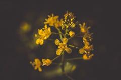 Mustard yellow flower Stock Photography