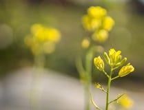 Mustard yellow flower Stock Photo