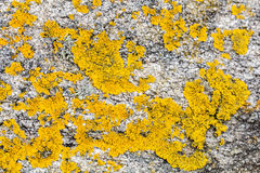 Mustard yellow saxilocous caloplaca moss or lichen for natural p Stock Images