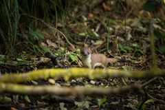 Mustela. Least Weasel seek drier places in the landscape. Distribution area covers most of Europe missing only in Ireland and Iceland and Asia, and North stock images