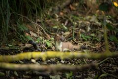 Mustela. Least Weasel seek drier places in the landscape. Distribution area covers most of Europe missing only in Ireland and Iceland and Asia, and North royalty free stock images