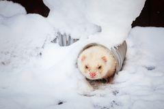 Mustela putorius furo, walking in the snow. Mustela putorius furo, ferret, walking in the snow stock images