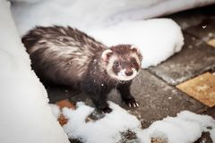 Mustela putorius furo, walking in the snow. Mustela putorius furo, ferret, walking in the snow royalty free stock images