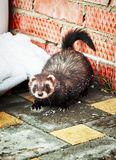 Mustela putorius furo, walking in the snow. Mustela putorius furo, ferret, walking in the snow stock photography