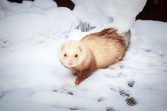 Mustela putorius furo, walking in the snow. Mustela putorius furo, ferret, walking in the snow stock photo