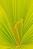 Muster auf den Palmblättern. Stockbild