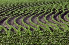 Muster in den Reihen von Sojabohnen Lizenzfreies Stockbild