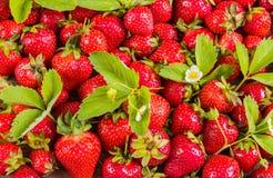 Muster der frischen roten Erdbeere mit Blättern Stockfotografie