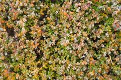 Muster der kleinen Grünpflanze, Hintergrund Stockbilder