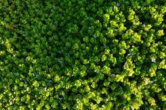Muster der purpurroten Blume, die auf den Grünpflanzen blüht lizenzfreie stockbilder
