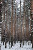 Muster des Winter-Kieferwaldes Stockbilder