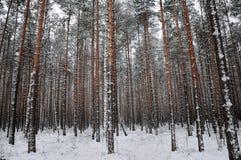 Muster des Winter-Kieferwaldes Stockfotografie