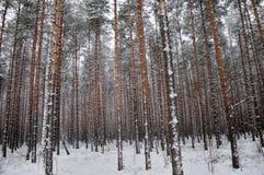 Muster des Winter-Kieferwaldes Lizenzfreies Stockbild