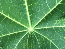 Muster, strukturiert vom Papayablatt für Hintergrund Lizenzfreies Stockfoto