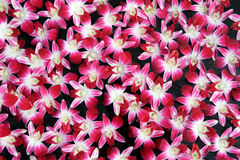 Muster von aerides lawrenceae Orchidee stockbilder