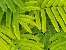 Muster von Cha Green Leaf Stockbilder