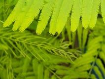 Muster von Cha Green Leaf Lizenzfreies Stockbild