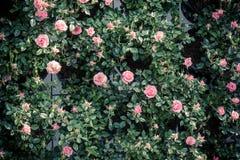 Muster von frischen rosa Rosen Lizenzfreies Stockfoto