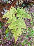Muster von Pteridophyteblättern Lizenzfreies Stockfoto