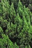 Muster von vielen Zypressebäumen Lizenzfreie Stockfotos