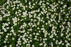 Muster von weißen Blumen mit Gelb auf einem grünen Hintergrund Stockfotos