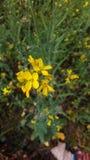 Musterd blomma royaltyfri fotografi