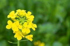 Mustered цветок завода изолированный в зеленых полях урожая пшеницы стоковые фотографии rf