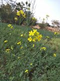 Mustered flowers. Clicked in indian farmland Stock Photos