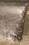 Mustering braham cattle Stock Photo