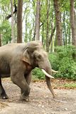 A musth tusker in the Dhikala forest Stock Photo