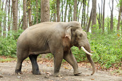 A musth tusker walking Royalty Free Stock Photo