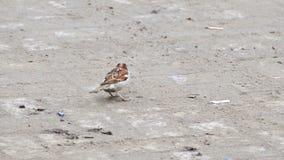 Musvogel die op het asfalt in de straat springen stock footage