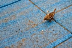 Musvogel het Eten Royalty-vrije Stock Foto