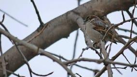 Muszitting op een tak en het eten van de winteraard van het vogelzaad stock footage