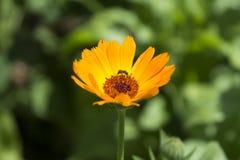 Muszka na kwiatach Obrazy Royalty Free