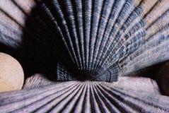 muszle morskie Zdjęcie Royalty Free