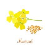Musztard ziarna i kwiat Fotografia Royalty Free