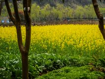 Musztarda kwiatów pole w natury tle zdjęcie royalty free