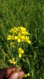 Musztarda kwiat obrazy royalty free
